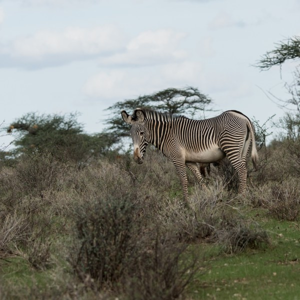 A grevy zebra stands sideways on showing its thin stripes and white belly.