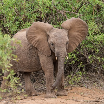 The baby elephant emerging from the bush is initially surprised seeing us there.