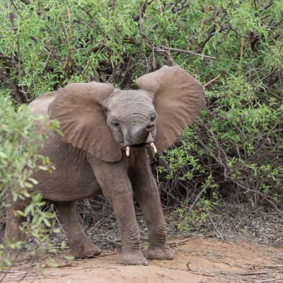 Baby elephant ears up and trunk waving.