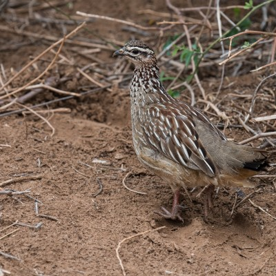 Photo of a crested francolin