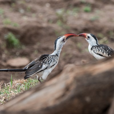 Pair of red-billed hornbills passing insects to each other