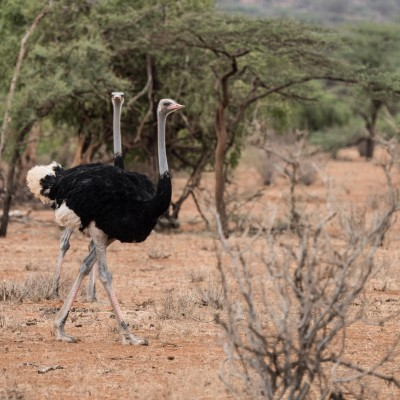 Male Somali ostrich taking a stroll