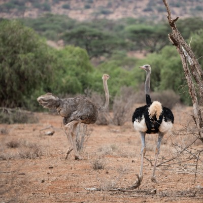 Male Somali ostrich showing its tail feathers and heading towards a female ostrich. It has twisted its neck right round so it can see us over its shoulder