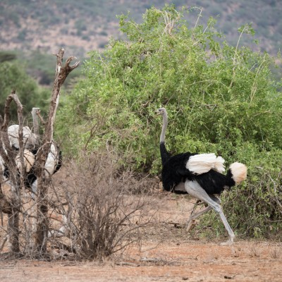 Male Somali ostrich is moving aggressively towards a couple of rivals