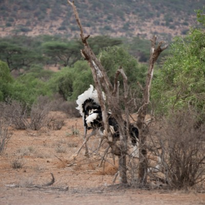 Male Somali ostriches are fighting quite seriously but are shielded by a bush so that what you can see is the raised feathers and the dust they are kicking up.