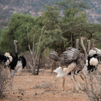 The defeated male ostrich to the left of the picture. Two female ostriches have fluffed up their feathers and are flapping their wings and following the successful male.