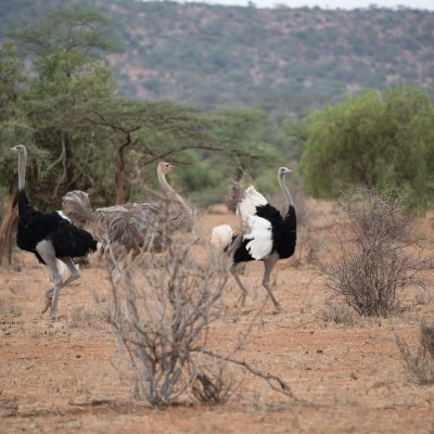 Somali ostrich showing off its plumage