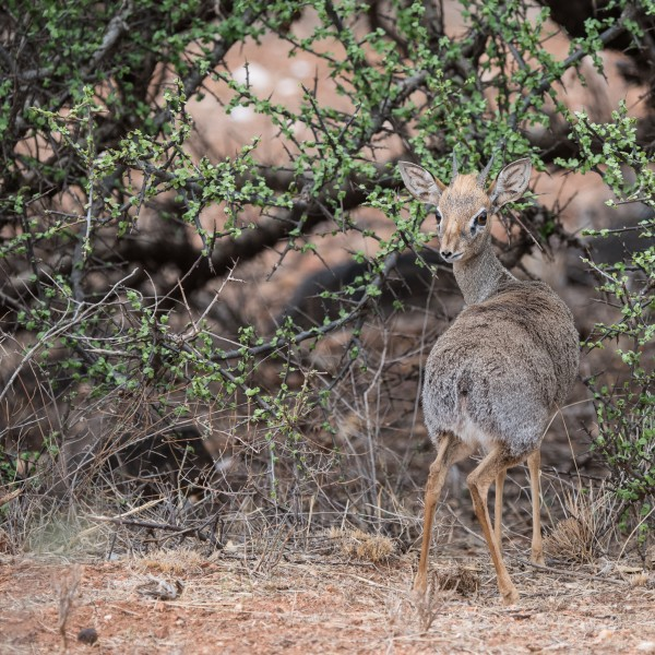 Tiny dik-dik standing facing away from us but looking back over the length of its body