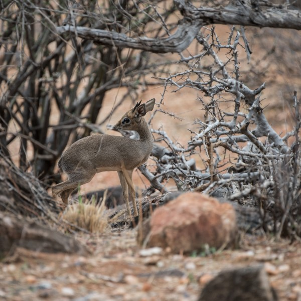 Tiny male dik-dik in amongst dead wooden branches and twigs