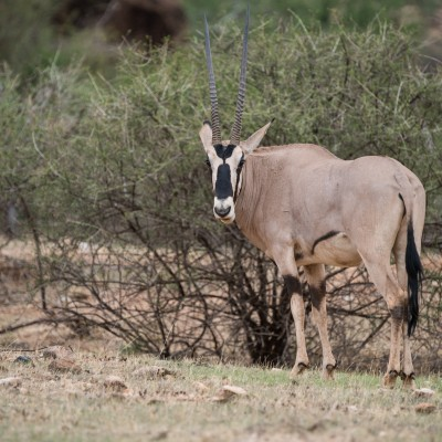 Oryx turning its head round to look back at the camera. Distinctive face markings