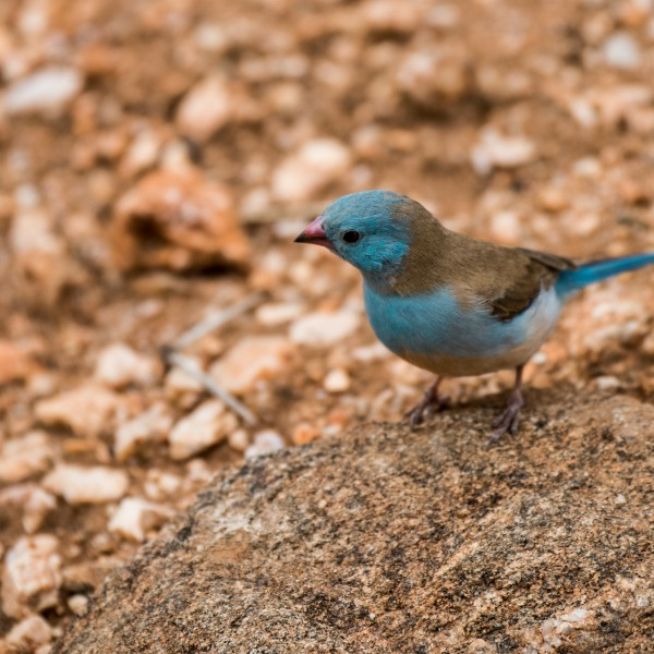 Photo of a brightly coloured bird called a Blue-capped cordon-bleu