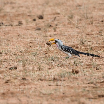 Eastern yellow-billed hornbill with a huge seed in its beak
