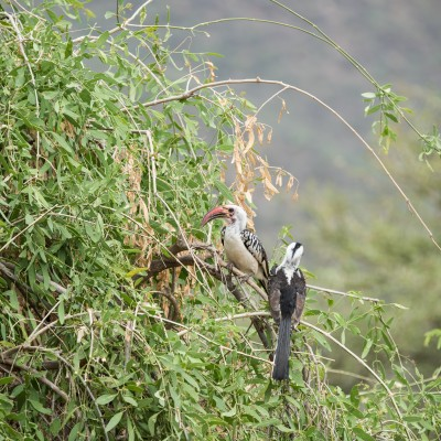 Pair red-billed hornbills perched in a tree
