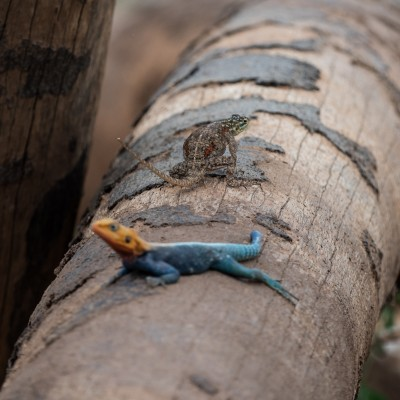 Chameleon on a log behind a agama lizard. A sharp contrast to the orange and iridescent blue of the out of focus lizard