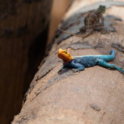 Agama lizard with a chameleon behind.