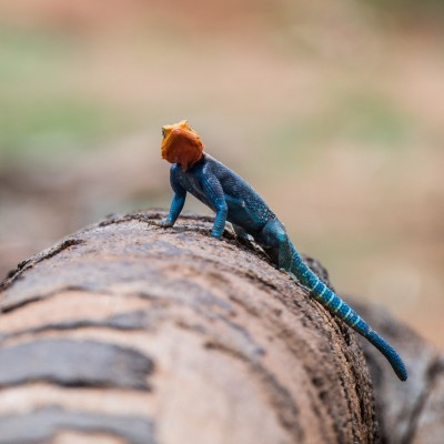 Close-up of the agama lizard showing its markings on its body. From this angle it looks as if it is feeling grumpy