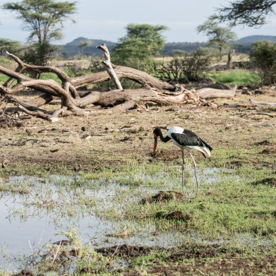 saddle-billed stork wading in some standing water on marshy ground with a large dead tree laying in the background and a glimpse of hills on the horizon