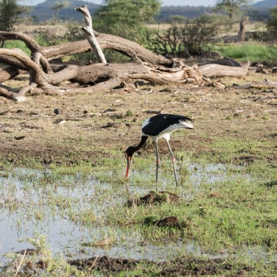 saddle-billed stork wading and fishing with the underside of its beak visible