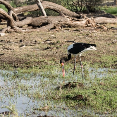 saddle-billed stork fishing with its head to one side