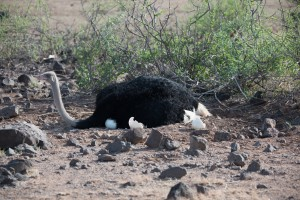 suddenly the ostrich chick disappears from view and the male settles down