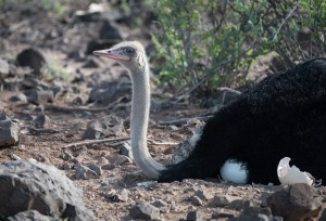 adult male somali ostrich and chick striking similar poses