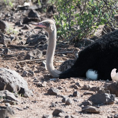 male somali ostrich on the nest with a chick visible next to it