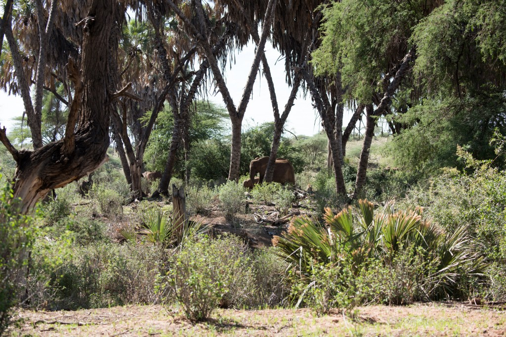 distant view of elephants moving through the bush