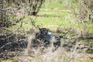 cheetah resting in the small patch of shade at the base of a bush
