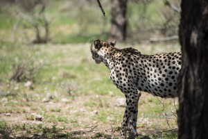 close up of a cheetah but facing away from camera and ready to move