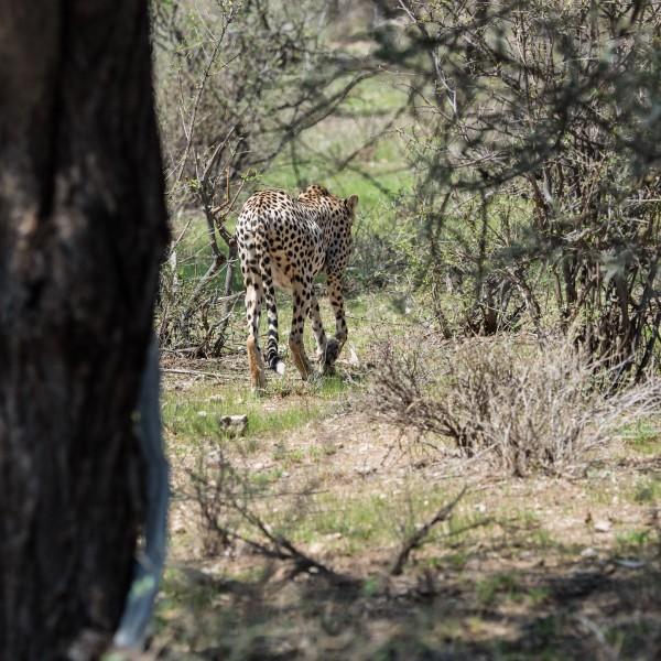 cheetah disappearing into the bush