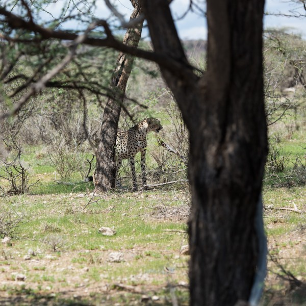 distant view of a cheetah