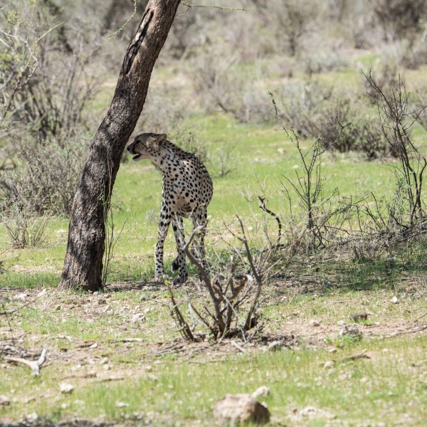 cheetah smelling the bark of a tree
