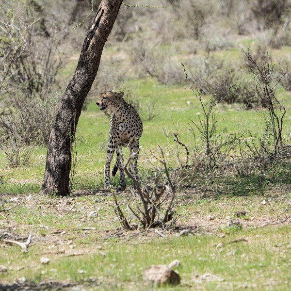 cheetah standing by a tree