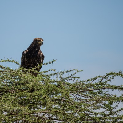 brown snake-eagle, perched high above us on an acacia tree, looking into the camera lens