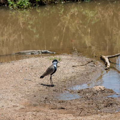 spur-winged lapwing standing by the water with a small crocodile in the water behind