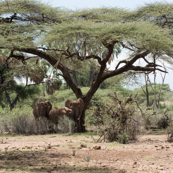 elephants seeking shade in the heat of the day