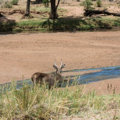 common waterbuck photographed from high up a river bank.