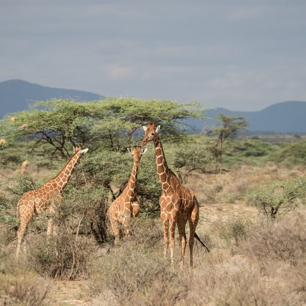 reticulated giraffe bathed in the lovely evening light