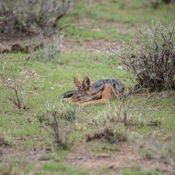 the jackal turns its head to the left and goes back to sleep