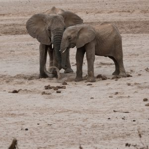 the elephant is loosening the sand with its front foot and throwing it out of the hole with its trunk