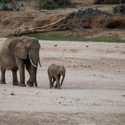 baby elephant overtaking its mother