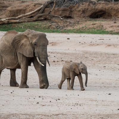 baby elephant walking purposefully