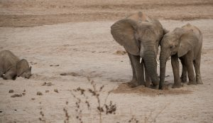 two elephants drinking from the same hole