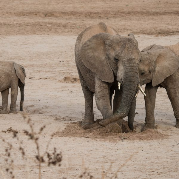 while the bigger elephant resumes the excavation the younger one is still trying to get its trunk in the hole