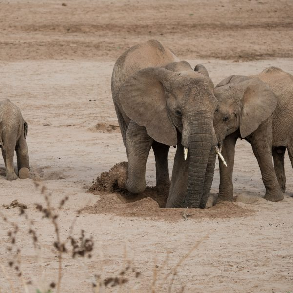 elephant exploring the hole with its trunk and shovelling sand out at the same time! Baby elephant in the background is trying to do the same thing.