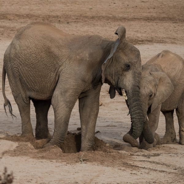the larger elephant is pushing the other one out of the hole