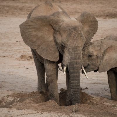 having been pushed out of the hole the elephant kneels down and tries again to reach the water