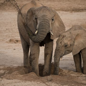 Elephants digging for water