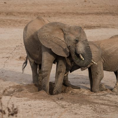 the elephant is still clearing out the stale water and blocks the attempts of the other one