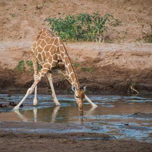 reticulate giraffe, legs spread,drinking. Some reflection in the water.